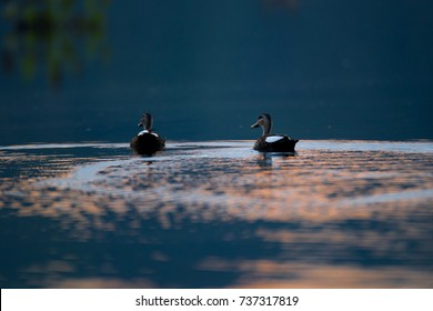 Background adult Indian spot-billed duck also known as Indian Spot-bill, Indian Grey duck, low angle view, rear shot, in the sunset floating on the lake, Chiang Saen Lake, northern Thailand.