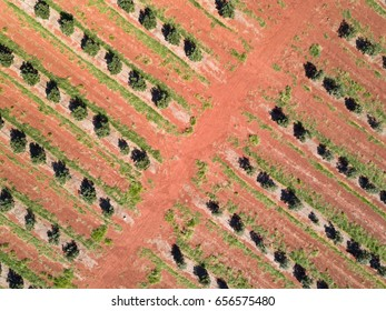 Background aerial shot of macadamia tree plantation at Childers Queensland Australia