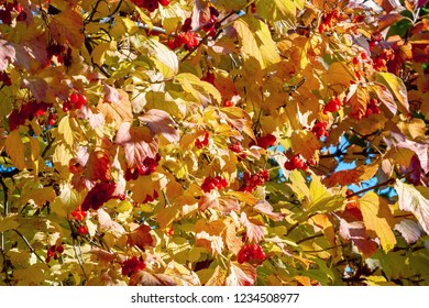 Background of arrowwood branches with red berries
