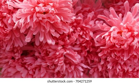Background of Artificial Pink Chrysanthemum Flowers for Home and Building Decoration.