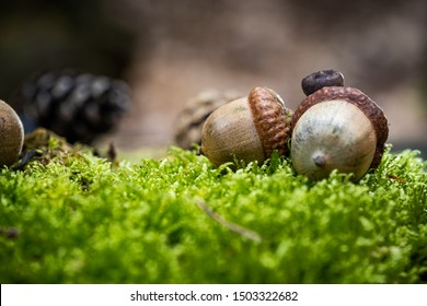 Background with autumn acorns and leaves closeup. Acorns macro. Acorns on the bark of a tree covered with moss.