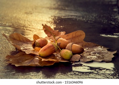 Background with autumn acorns and leaves close-up. Acorns macro. Acorns on a leaf of oak with drops of water. Acorns after rain.