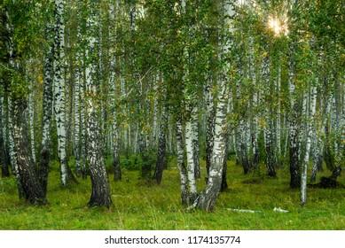 background - autumn birch grove in the evening light