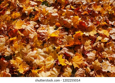Background from autumn leaves of a maple in bright light of the sun