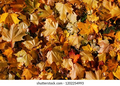 Background from autumn yellow and orange maple beautiful leaves in light of the sun