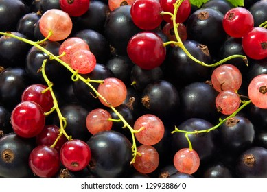 Background of backfilling of berries and twigs of black currant, red currant and pink currant close up