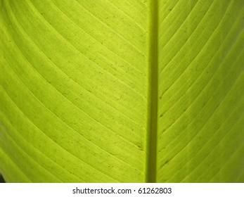 Background backlit banana leaf
