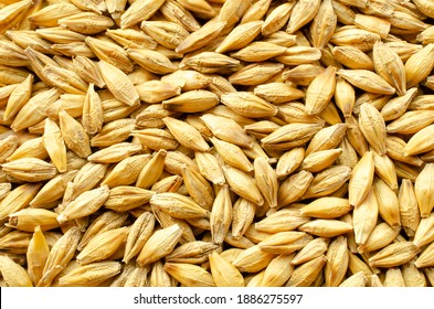 Background from barley grains, close-up, top view. Macro plan of a grain of barley. Texture, background, barley seeds close-up. Yellow barley grain for brewing beer. Grains texture, top view.