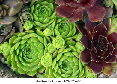 Background with beautiful green and red 'Sempervivum Red Lion' and 'Sempervivum Allionii' Houseleek succulent plant covering ground