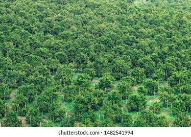 Background of beautiful green trees of orange farm at Chiang Mai, Thailand.