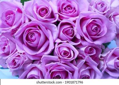 Background of beautiful lilac roses. High quality photo
