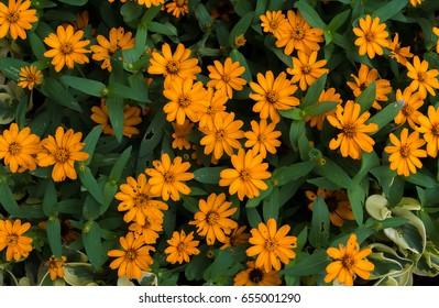 Background of beautiful orange flowers