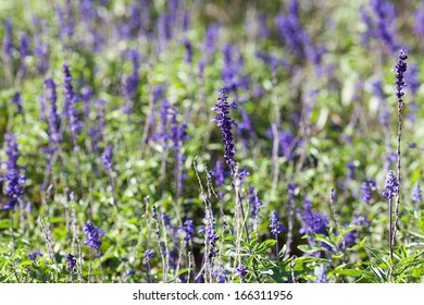 background of the beautiful purple lavender flowers