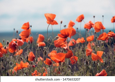 background of beautiful red poppy field. Provence, France. a poster