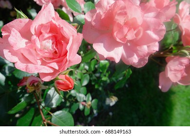 Background of beautiful roses in pink color