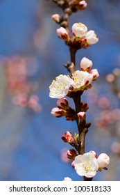 Background with beautiful white cherry flowers on spring