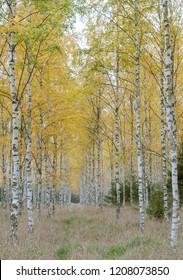 Background of Birch Wood in autumn