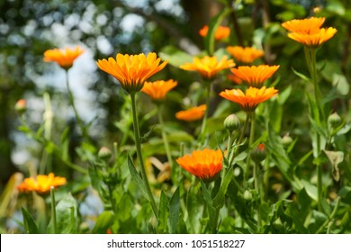 Background with blooming flowers calendula officinalis, marigold.
