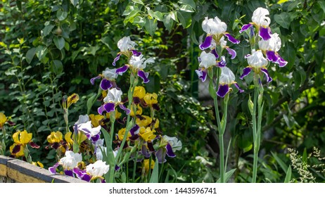 Background blooming flowers violet lilac iris grow in a flowerbed.