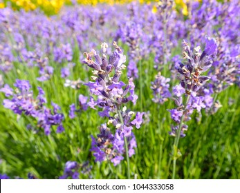 a background of blooming Lavandula lavender plant with blue flowers