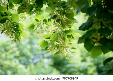 Background with blooming linden branches in soft focus.