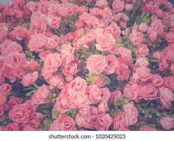 Background of blooming pink rose in vintage color