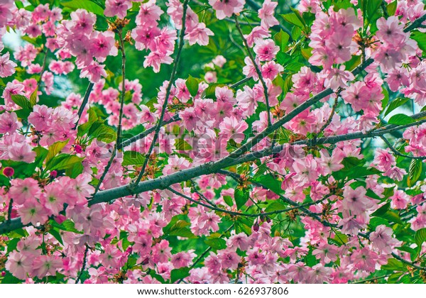 Background of a blooming sakura tree in a park