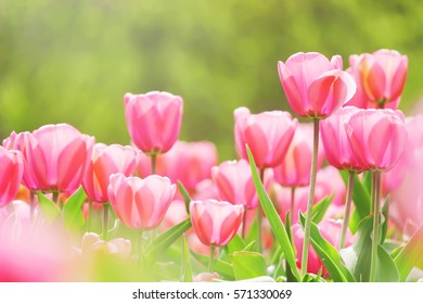 background of blooming tulips. Flowers. Selective focus.