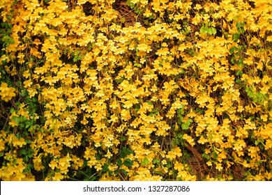 The background of blooming yellow flower on the backdrop wall in the garden