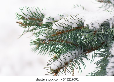 background blue Christmas tree in the snow