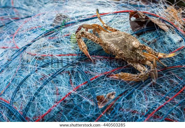 Background blur and soft focus. Blue swimming crab on fishnet. Sukorn island. Trang. Thailand.