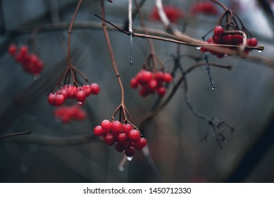 background with branch of the red mountain ash