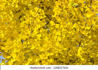 Background of branches of the Ginkgo biloba also known as maidenhair tree with autumn leaves in park
