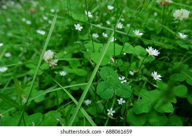 Background of bright clover leaves and white flowers