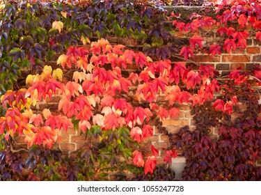 Background of bright red colors of ivy on a wall in Prague as the leaves change color with the onset of cold weather.