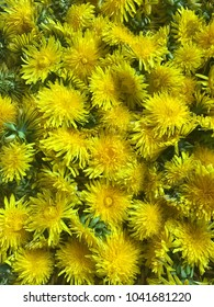Background of bright yellow dandelion flowers picked in the spring and summer