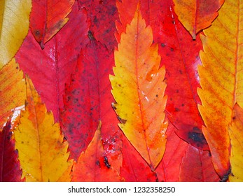 Background of brightly colored leaves from Wisconsin