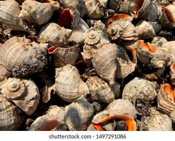 Background - Brown-Orange Rapana Shells