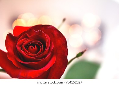 background bud of red rose / Red Rose