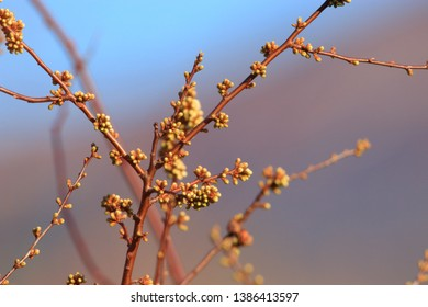 background of Buds of blackthorn in spring