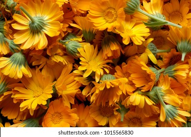 Background with Calendula. Medicinal herbs. Summer