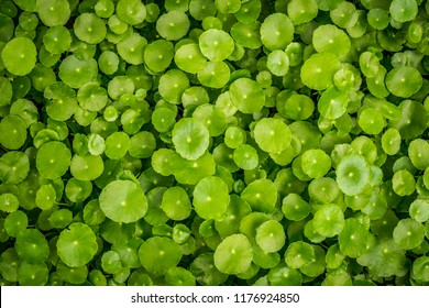 Background of Centella asiatica, Herbs help to heal inflammation.
