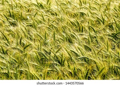 Background of cereal field, close up of cereal field. Tritikale cereal field in summer. Wheat and Rye field in Latvia