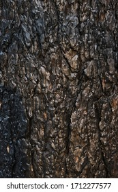 Background charred pine bark, black charred wood after a forest fire.Lit by a Sunny sunset