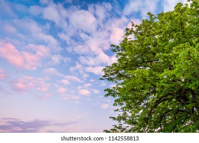 background of a chestnut tree full of fresh green leaves against a blue sky with colored clouds