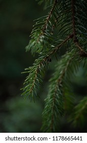 Background of Christmas tree branches.
