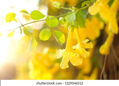 The background of 'Cat Claw Creeper' flower; the yellow flower in Thailand', in twilight time of golden hour with blurred background