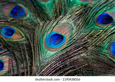 background close-up of feather of a peacock