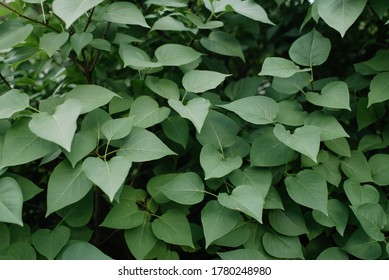Background. Close-up. Leaves of lilac.
