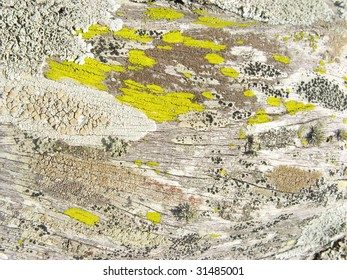 Background of a close-up to the texture of lichens over tree's bark